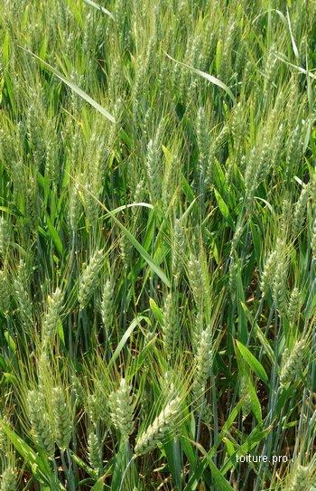 Le blé est fréquemment utilisé pour construire des chaumières.